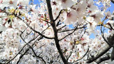 【sakura】森山直太朗『さくら』を聴きながらお花見【hanami】